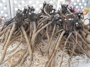 chervis-racines