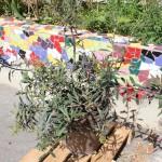 <b>L'olivier de Lolly, désormais installé A La Bonne Herbe ! en floraison !!!!</b> <br />