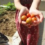 Les dernières tomates de la saison