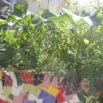 Courges et dernières tomates de saison .....encore bien vertes