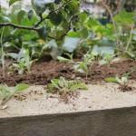 jeunes pousses de bourrache à replanter après éclaircissement
