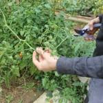 couper les fleurs des tomates pour accélérerleur mûrissement et qu'elles ne restent pas vertes car le soleil se fait plus rare